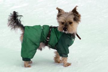 Little Yorkshire Terrier posing an grass Yorkie Dog