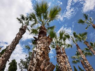 Palmen vor blauem Himmel und Wolken aus der Froschperspektive