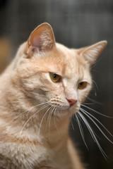 light-haired, well-fed, short-haired cat