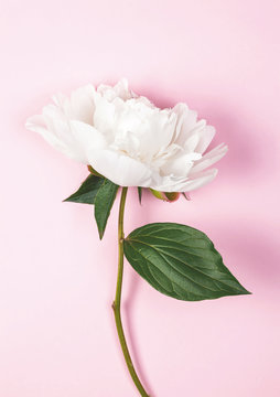 White peony flower on pink background. Top view. Flat lay.