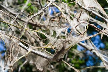 Spiderweb on tree branches. bird cherry moth Yponomeutidae