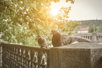 A couple of doves on Prague