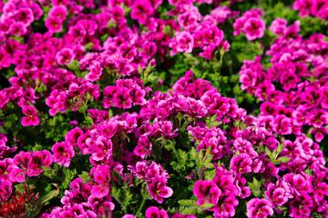 Close-up of ripe pink french geranium