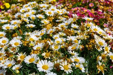 Glade of white decorative camomiles
