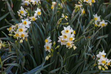 Group of small white daffodils