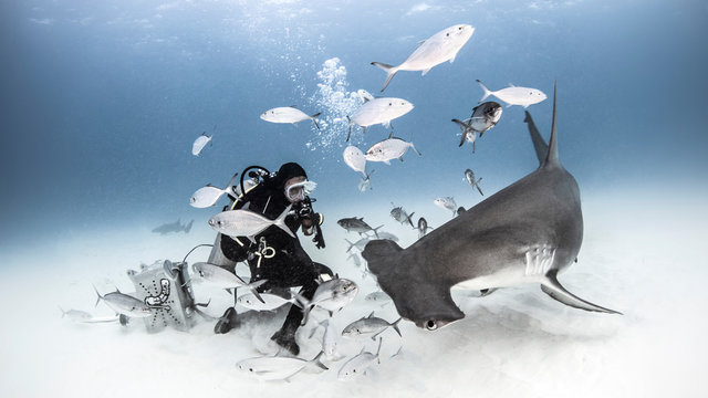 Underwater view of diver photographing great hammerhead shark from seabed, Alice Town, Bimini, Bahamas