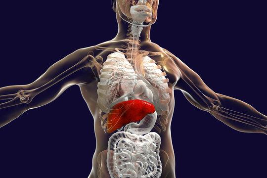 Liver highlighted inside human body, 3D illustration