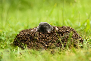 Mole in garden. Talpa europaea, crawling out of brown molehill, green grass lawn background