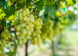 grape in the farm