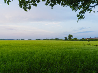 Dusk descends over a field of young green wheat