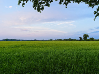 Dusk settles over a field of young green wheat