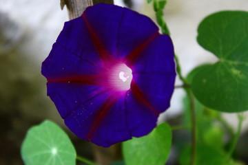 Kapuzinerkresse lila