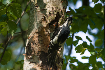 Great spotted woodpecker (Dendrocopos major) feeding hungry baby.
