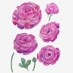 set of lilac vector watercolor buttercups on white background