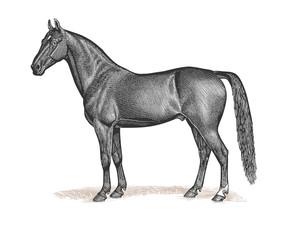 Horse Engraving Vintage Illustration