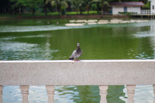 Pigeon sitting on a fence marble. Bird of peace.