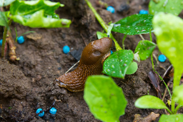 Slug eating snail grain