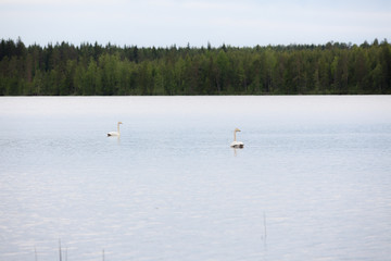 Whooper swan swimming on lake at summer