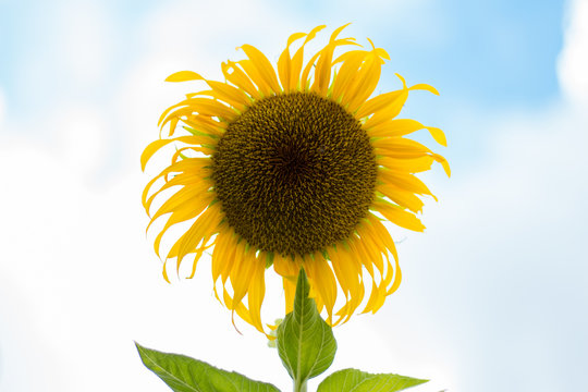 Sunflower beautiful bright colored in garden. Natural flower.