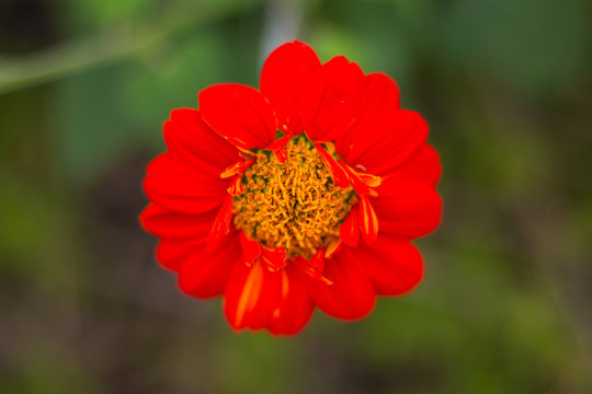 Mexican sunflower beautiful bright colored in garden. Natural flower.