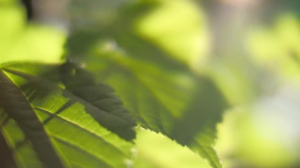 Wall Mural - Green leaves backlit by warm sun in garden. Closeup, slow motion.