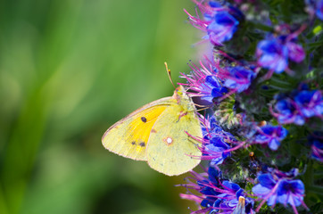 Yellow butterfly on Madeira