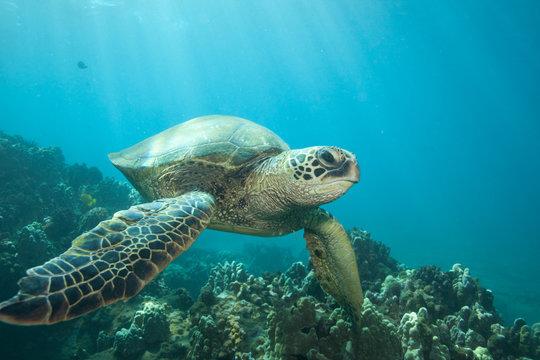 Sun rays lighting up a green sea turtle underwater