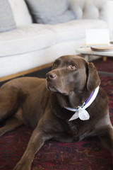 Chocolate lab in a living room