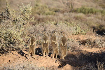 A cute meerkat family in the desert of Oudtshoorn behind a big green tree, South Africa