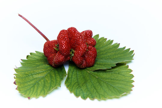 Ripe juicy strawberry of strange unusual shape with green leaves on a white background.