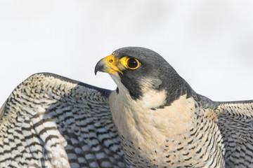 peregrine falcon portrait Fototapete