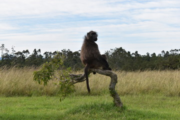 A big brown baboon is sitting on a tree branch in South Africa