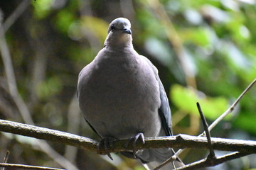 Closeup of a grey Barbary Dove sitting on a tree branch in a park in South Africa
