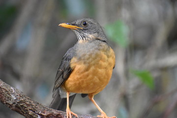 Closeup of a beautiful Olive Thrush in South Africa