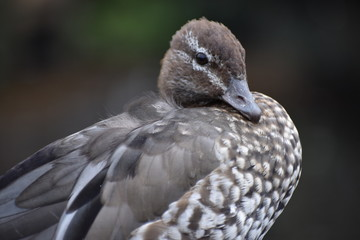 Closeup of a brown Marble Teal in a park in South Africa