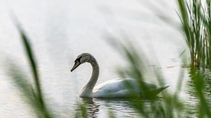 Schwan hinter Schilf auf einem See
