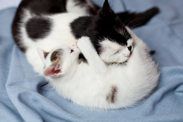 A small kitten plays with a cat mom and bites her by the ear on a gray cloth