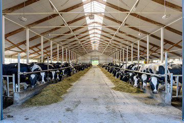 Milking cows eating in modern farm cowshed.