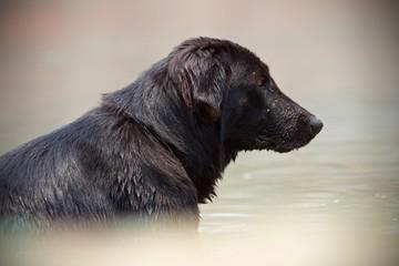 Black Retriever dog
