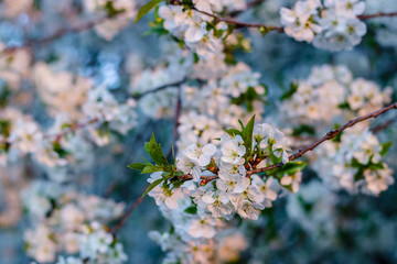 the fruit tree blooms in white under a bright sun