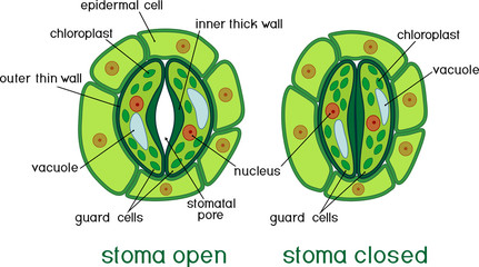 Structure of stomatal complex with open and closed stoma with titles