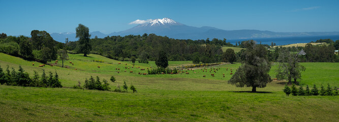Wall Mural - Panorama of a green summer meadow with grazing cows, forest and mountains on the horizon, Patagonia, Chile