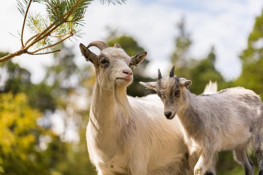 The goats apprentice 1