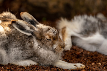 A sleeping mountain hare on a forestlike ground