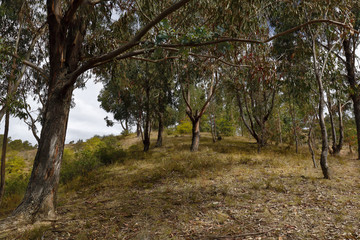 Beautiful wooded landscape with eucalyptus trees (eucalyptus sp.)