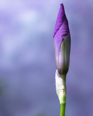 Purple Bearded Iris Bud