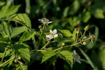 Wild Raspberry (Rubus idaeus).