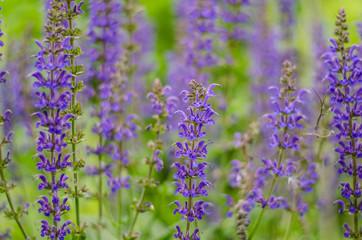 Up Close Salvia