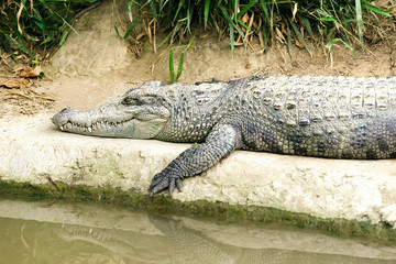 The crocodile lying on the river bank.Safari concept.