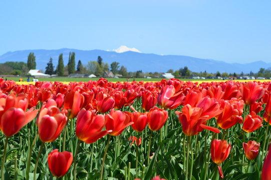 Tulip festival in the Skagit Valley